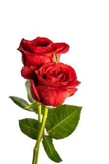 Rosas vermelhas com gotas de água