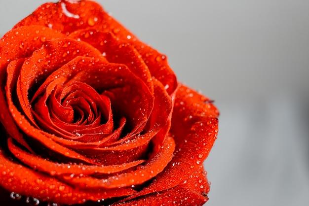 Rosas vermelhas e brancas com papel de parede da água sparkling.