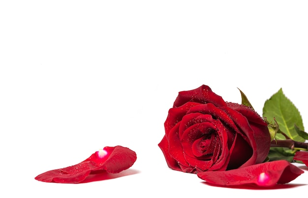Rosas vermelhas e pétalas de rosa isoladas no fundo branco