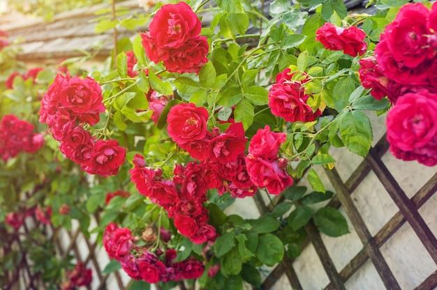 Rosas vermelhas, escalando, ligado, cerca madeira