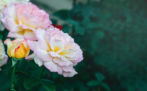Rose bud com gotas de chuva