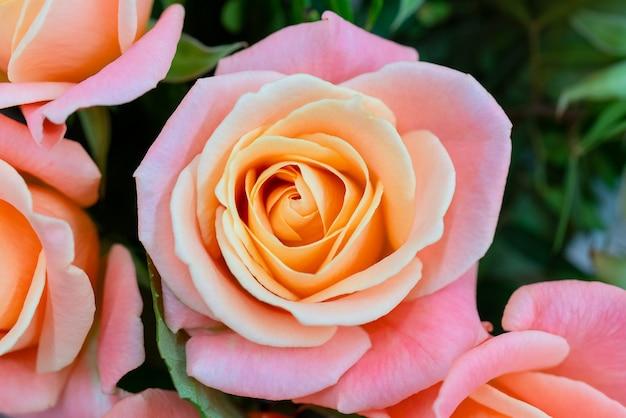 Rose floresceu na primavera. linda rosa fresca. florescendo broto rosa. rosas de floração da primavera.