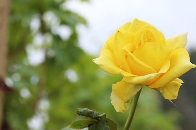 Rose no jardim