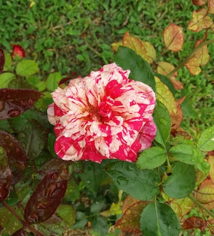 Rose ofegou