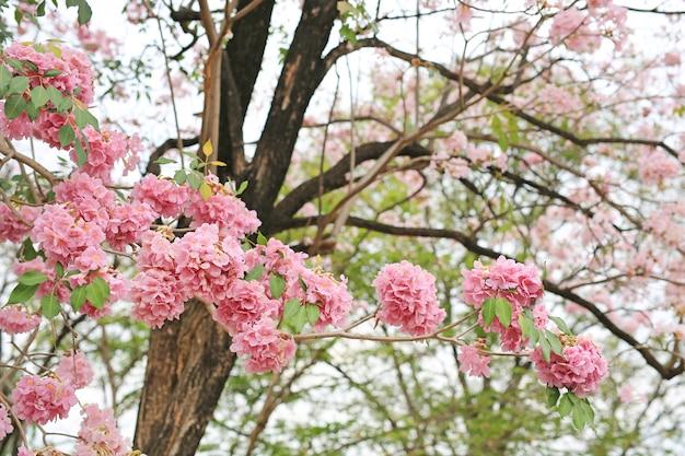Rosea de tabebuia ou árvores de trombeta bonitas que florescem na estação de mola. flor rosa no parque.