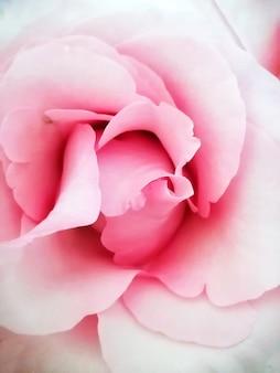 Rosebud aberto rosa, close-up, ocupando todo o quadro, vista de cima