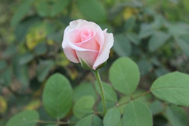 Rosebud rosa
