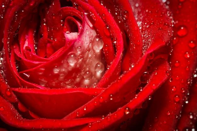 Rosees vermelho com gotas de água na natureza
