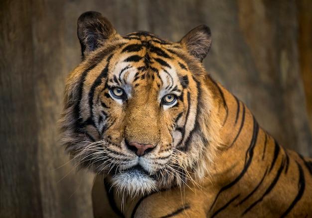 Rosto colorido de tigre asiático.