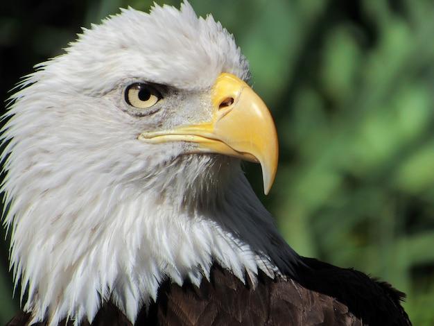 Rosto de águia