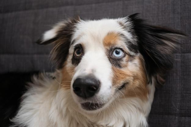 Rosto de cães de merle azul de pastor australiano fofo. olhos de cores diferentes. animais de estimação amigáveis e conceito de cuidado.