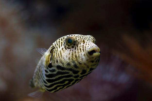 Rosto de close up, vista frontal de peixe-balão, rosto de peixe-balão
