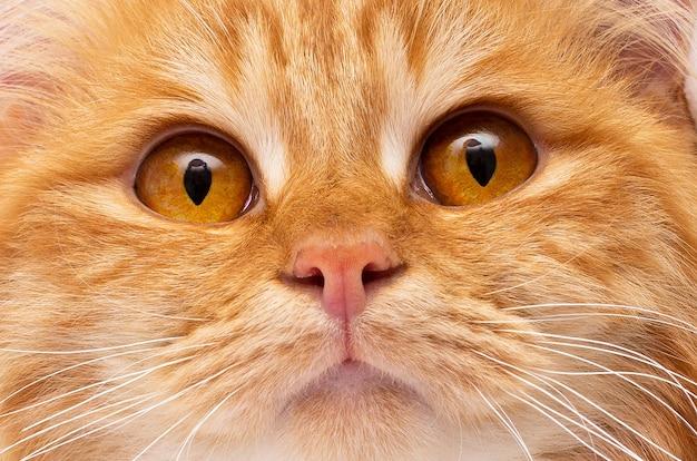 Rosto de gato vermelho gengibre close-up do fundo