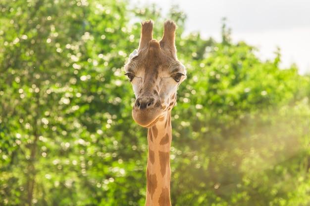 Rosto de girafa.