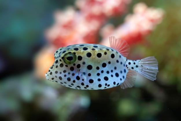 Rosto de peixe-balão em close-up, vista frontal, rosto bonito de peixe-balão