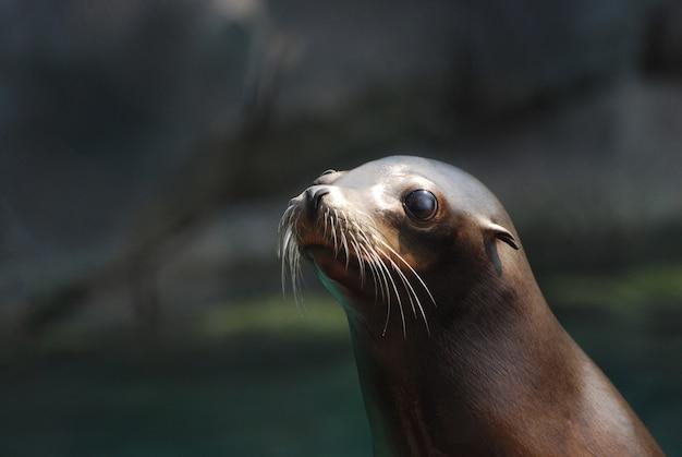 Rosto fantástico de um jovem leão-marinho