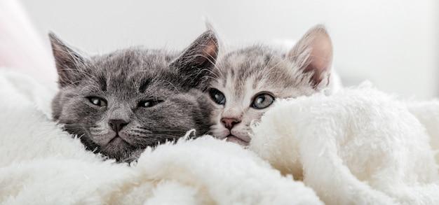 Rostos de gatos espiam debaixo do cobertor. gatinhos fofos e engraçados. família de casal de gatos retrato na superfície branca. os gatos assistem ao lado. banner longo da web com espaço de cópia.