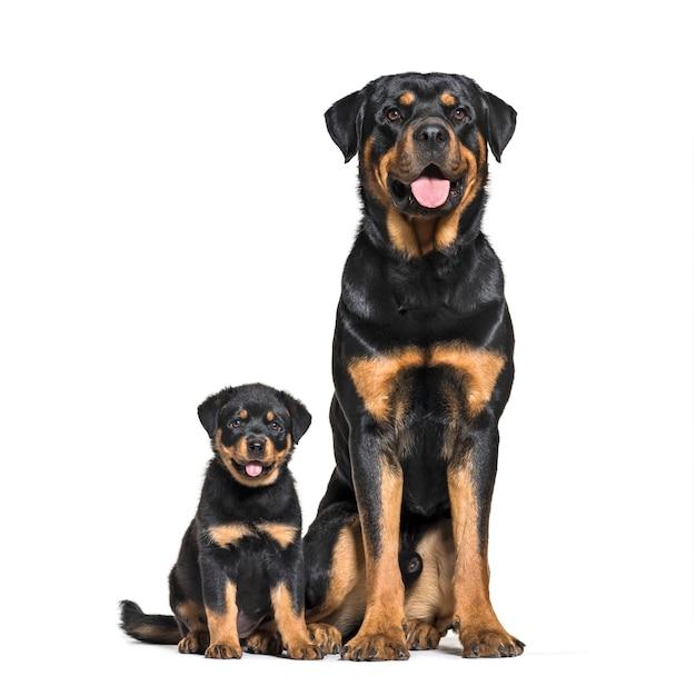 Rottweiler, 18 meses e 3 meses, na frente do branco