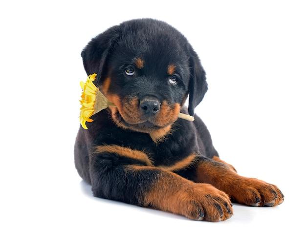 Rottweiler cachorro e flor