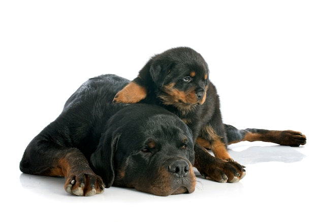 Rottweiler do filhote de cachorro e do adulto