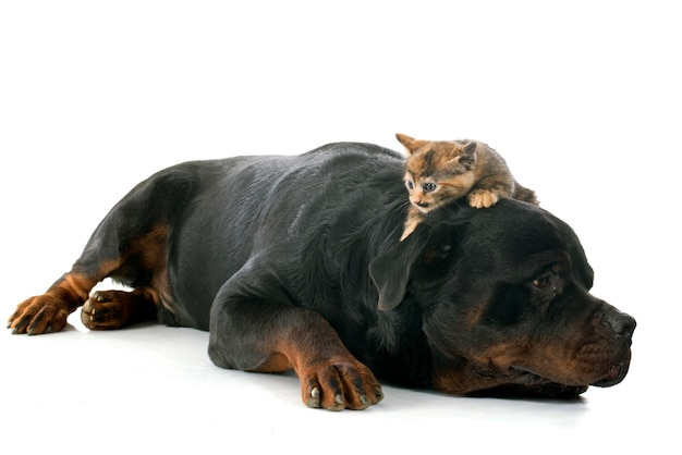 Rottweiler e gatinho