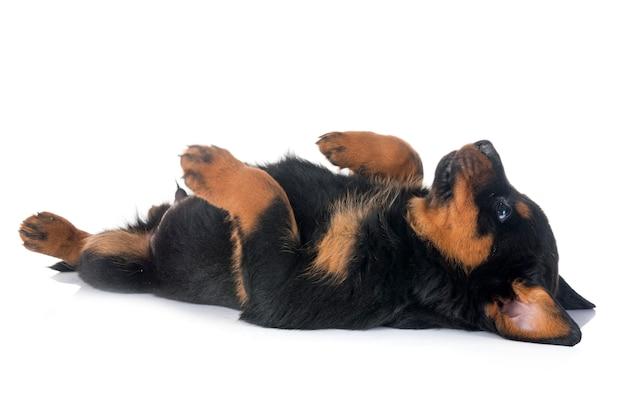 Rottweiler filhote de cachorro em estúdio