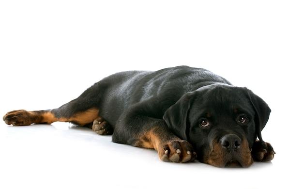 Rottweiler filhote de cachorro