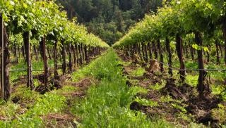 Row vineyard