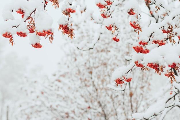 Rowan ramos cobertos de neve