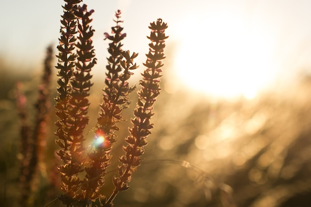 Roxo azul salvia sálvia farinacea nas flores de iluminação do pôr do sol desabrochando flores de sálvia violeta