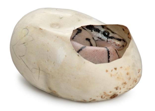 Royal python, bola python - python regius em seu ovo