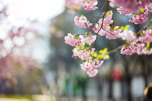 Rua sakura. vista da árvore sakura em plena floração na rua