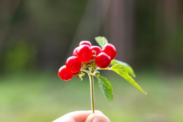 Rubus saxatilis ou amora de pedra na mão.