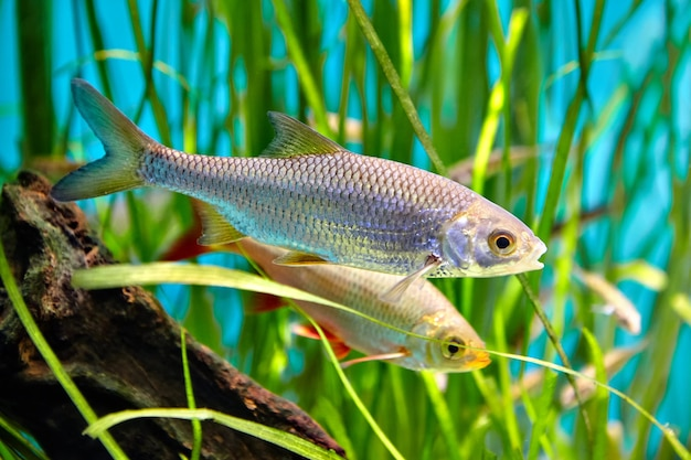 Rudd comum está nadando debaixo d'água, peixe de água doce, pertence à família das carpas.