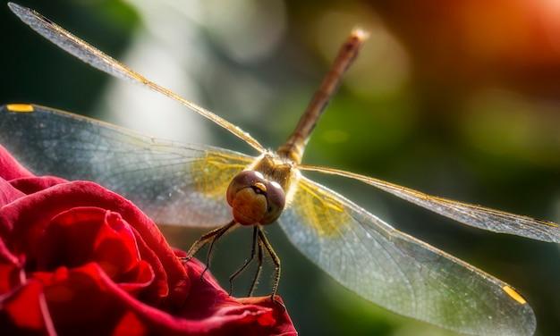 Ruddy darter dragonfly sits em uma flor da rosa, close-up, foco seletivo.