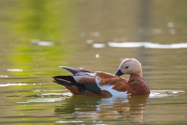Ruddy shelduck, um único pássaro nada no lago. tadorna ferruginea.