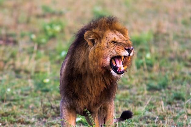 Rugido aterrorizante de um leão africano. masai mara, quênia