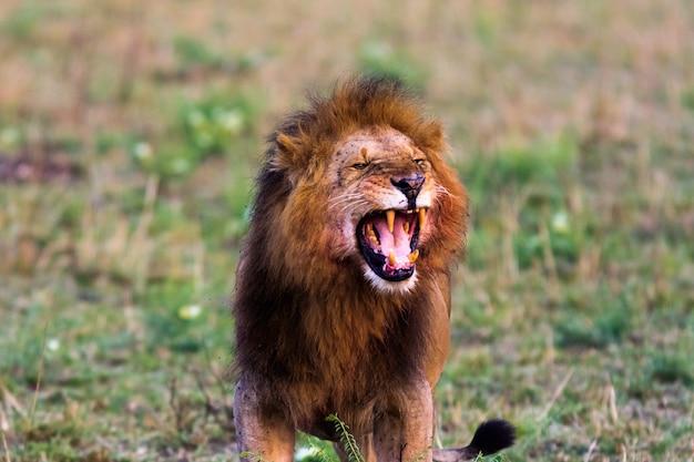 Rugido aterrorizante de um leão. masai mara, quênia. áfrica
