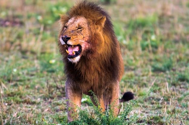 Rugido aterrorizante de um leão. masai mara, quênia