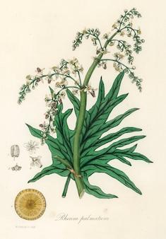 Ruibarbo chinês (rheum palmatum) ilustração de botânica médica (1836)