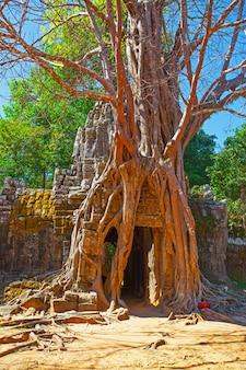 Ruínas entrelaçadas por uma árvore gigante em angkor wat, camboja