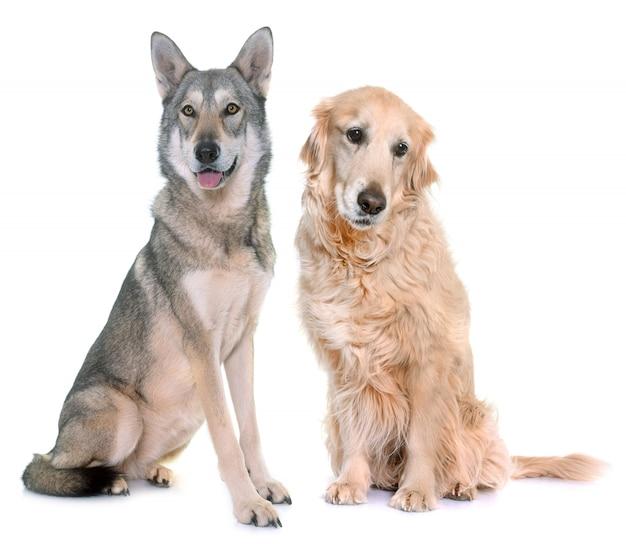 Saarloos wolfdog e golden retriever
