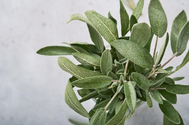 Sábio. bando de folhas verdes frescas. fundo da textura do sumário do sábio da erva. conceitos da natureza. foco suave e seletivo. textura. brincar. vista superior com copyspace.