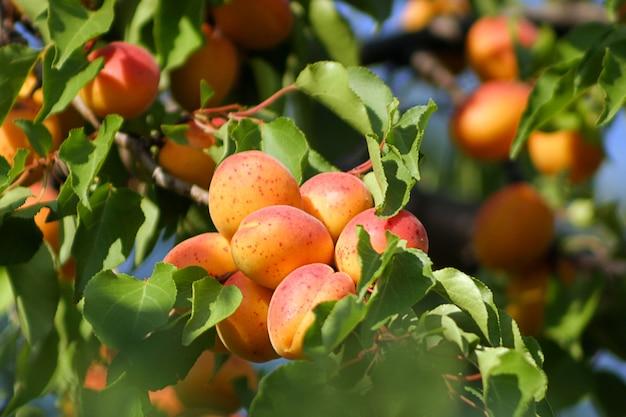 Saboroso damasco na árvore