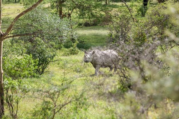 Safári. rinoceronte branco no fundo da savana
