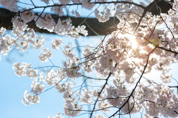 Sakura cereja flores