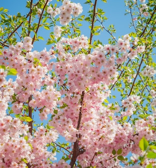 Sakura, cereja japonesa de close-up.