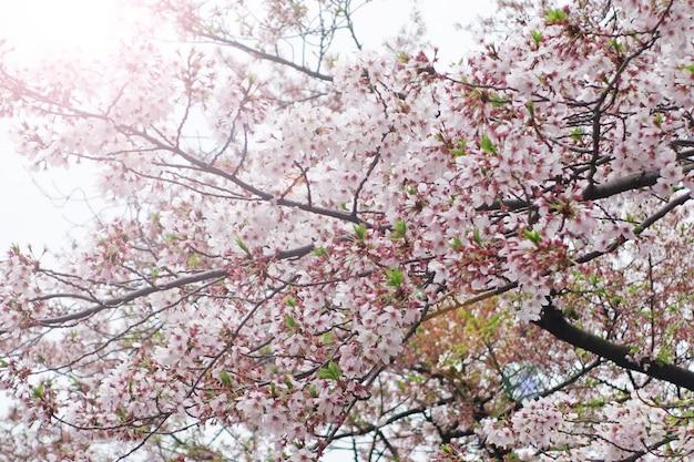 Sakura cerejeira flor backgrund