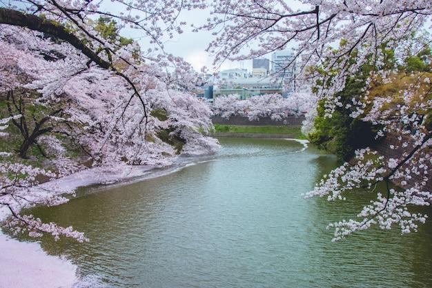 Sakura desabrocham e caem no canal