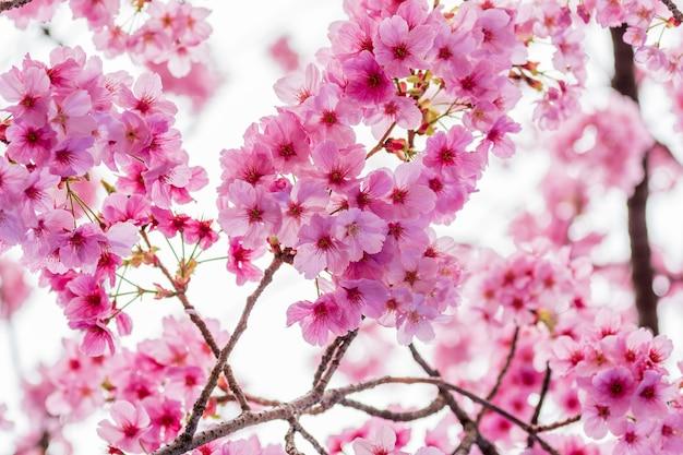 Sakura, flor de cerejeira na temporada de primavera